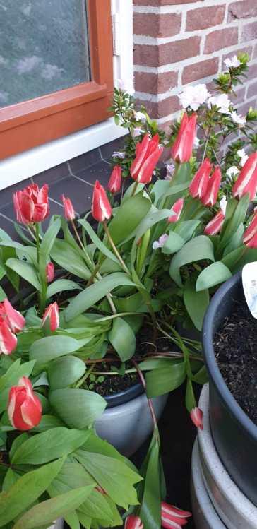 Tulpen, om van te houden. De tuin ziet er weer prachtig uit.